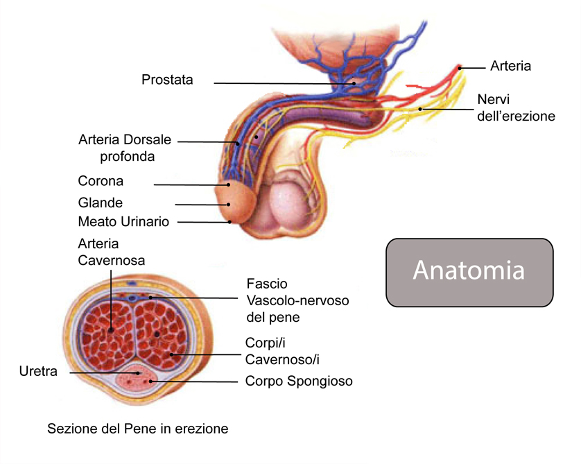 sistema nervoso del pene come aumentare lerezione dopo 58 anni